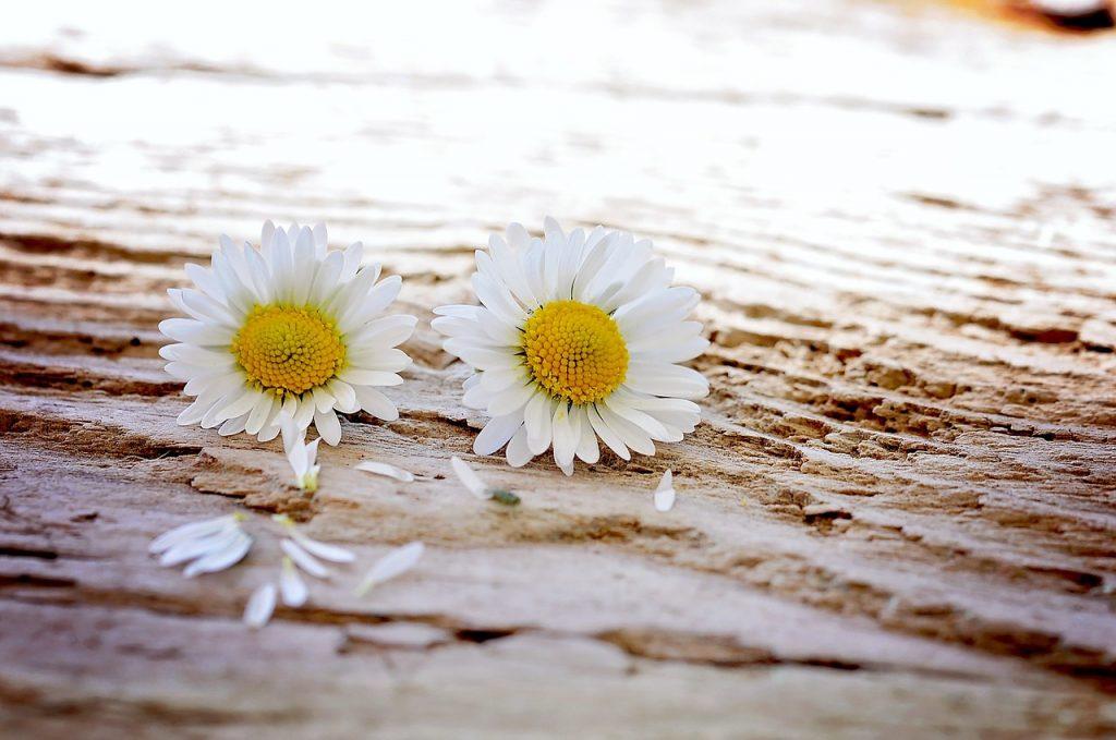 daisy-pair